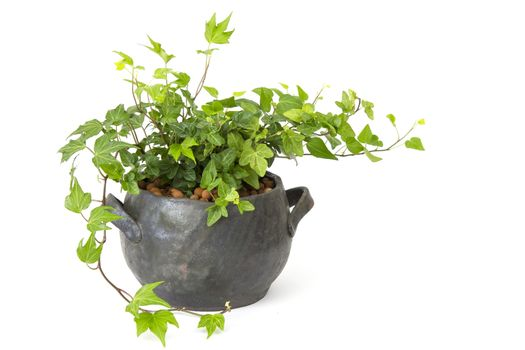 Green ivy plant in clay pot