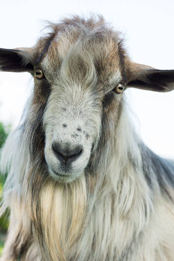 The photo depicts a portrait of a goat