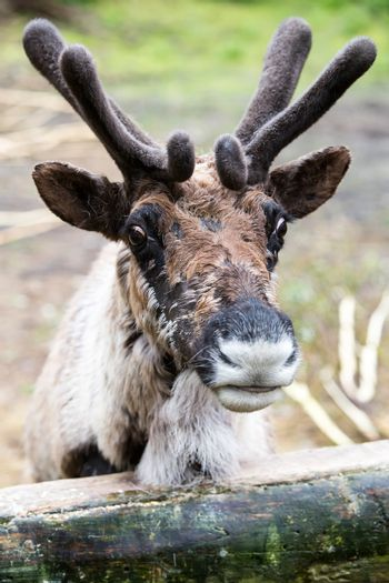 Domesticated Reindeer with Velvet on Antlers