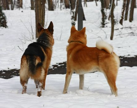 German Shepherd and Akita Inu observing environment under the snow