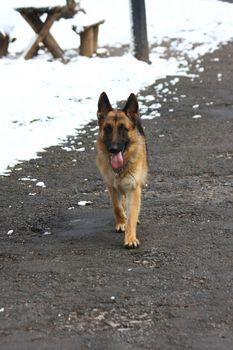 Beautiful German Shepherd walking in public park