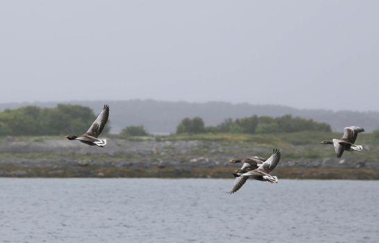 Grågås på vingene - Sted Gårdsøya Brønnøysund