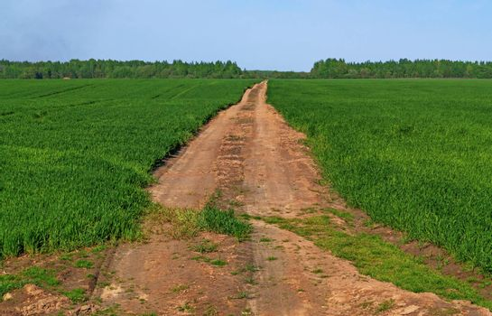 Sandy road surrounded by green shoots of wheat.