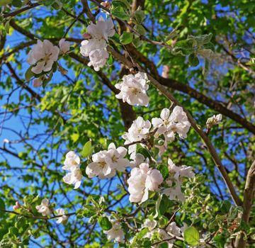 Pinkish white apple blossoms.