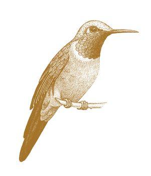 Hummingbird drawn by hand