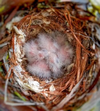 A couple of days old house finch babies sleeping in the nest.