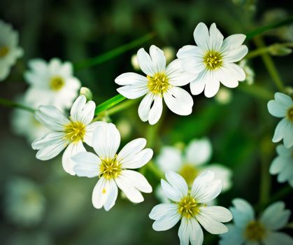 Summer background with white florets