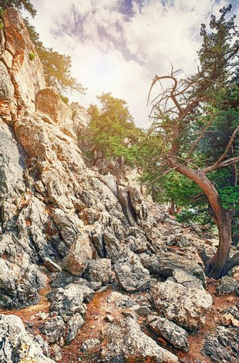 pines on the stone cliff .HDR photo. Rhodes. Greece
