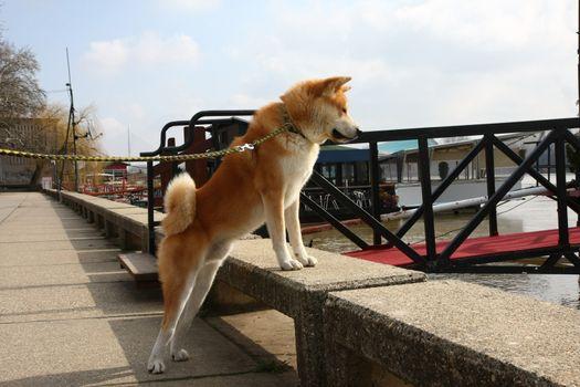 Beautiful Akita Inu dog standing on the riverbank