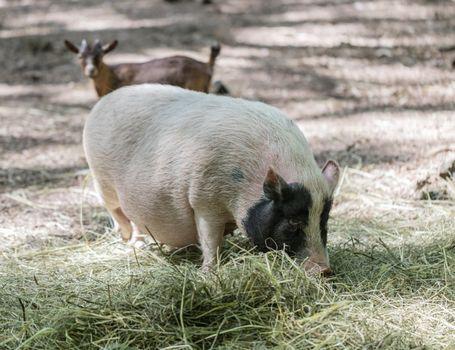 Vietnamese pig are grazed