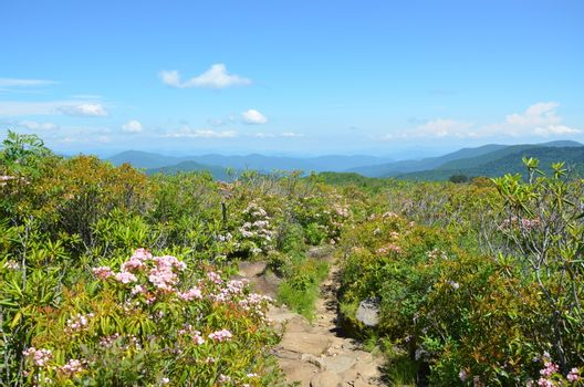 View along the Art Loeb trail in North Carolina. This is near Black Balsam knob with mountain laurel in full boolm.