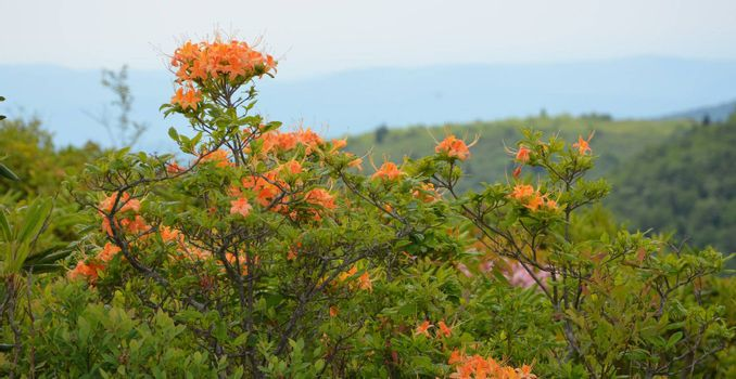 Mountain flowers in bloom along the trails in north carolina