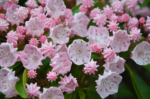 Mountain laurel in full bloom along the trail in north Carolina