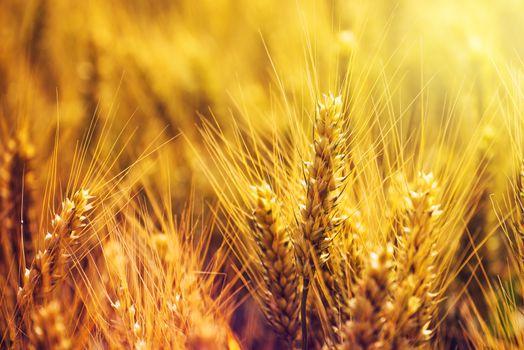 Golden wheat ears in cultivated field