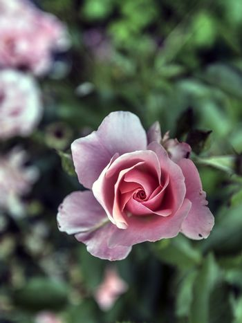 Pink rose from above
