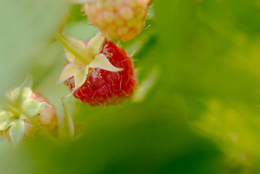 Close-up Image of Red Ripe Raspberries Growing in Garden