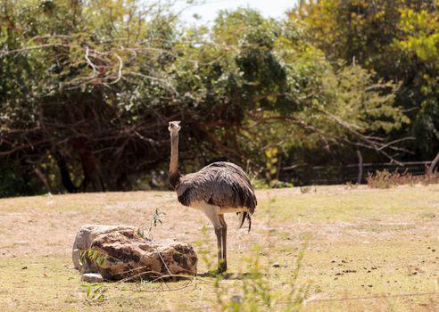 Greater Rhea Americana Nandu bird