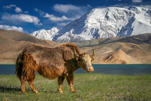 Big yak on the shore of Kara Kul lake in Karakorum China