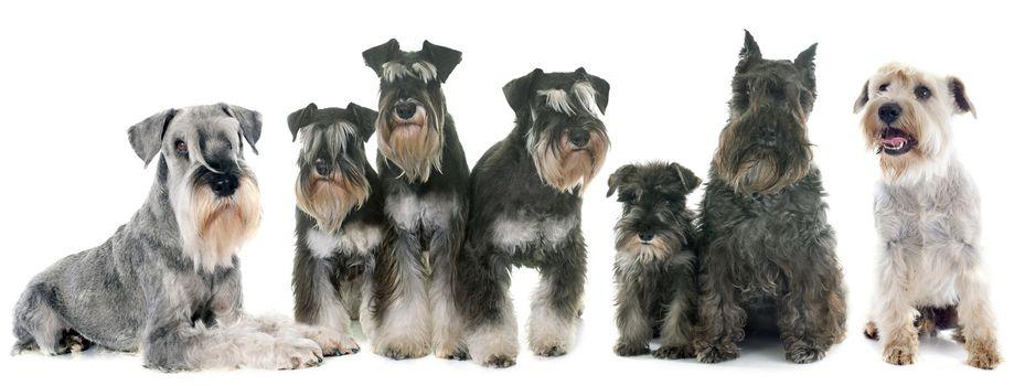 group of Schnauzer