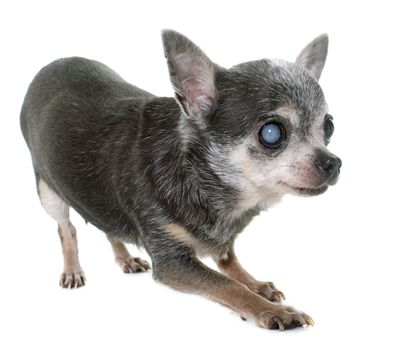 old chihuahua with cataract