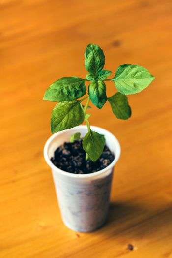 Basil in cup