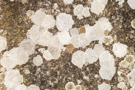 Gray Lichen organisms