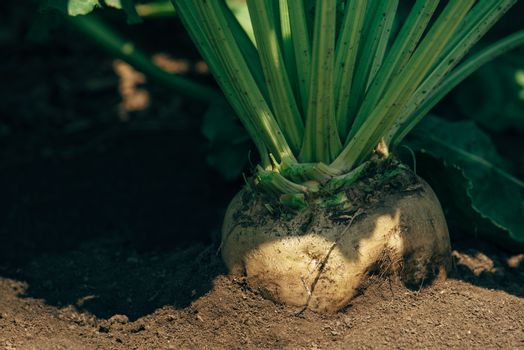 Sugar beet root in the ground