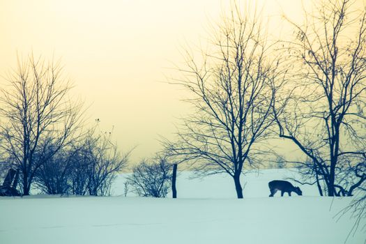 A deer forages for food after a heavy winter snow storm.