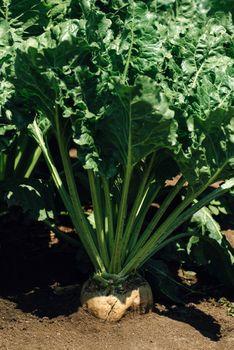 Sugar beet root