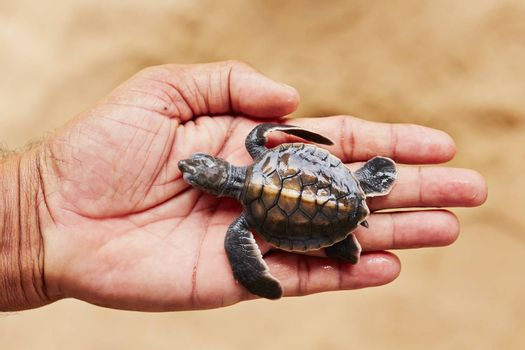 Two days old turtle on the human palm in Turtle Hatchery - Sri Lanka