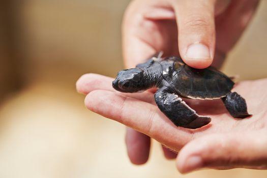 Three days old turtle on the human palm in Turtle Hatchery - Sri Lanka