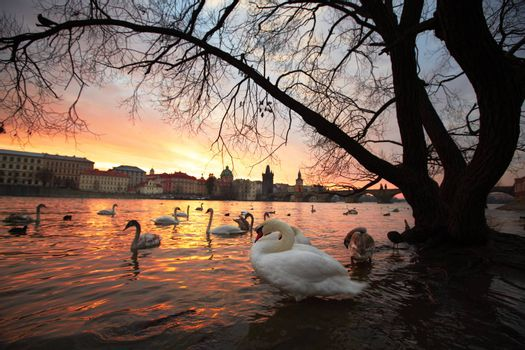Group of swans on Vltava River in Prague - selective focus