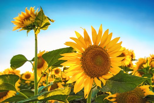Beautiful sunflower head blooming in cultivated crop field