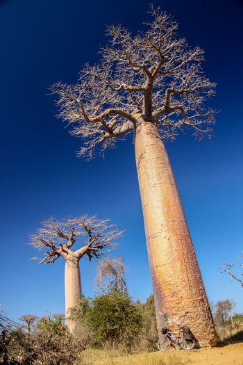 Bicycle parked under the huge baobab in the famous Avenida de Baobab near Morondava in Madagascar