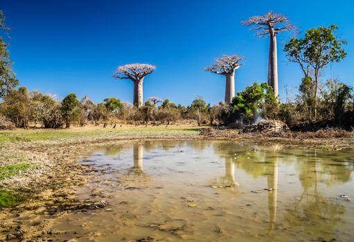 Group of baobabs and their reflection in a pond, Avenida de Baobab near Morondava in Madagascar