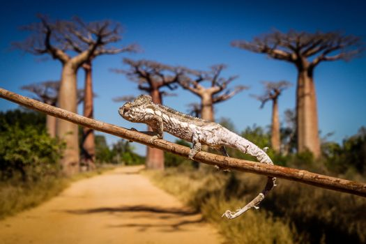 Small chameleon on a branch in Avenida de Baobab