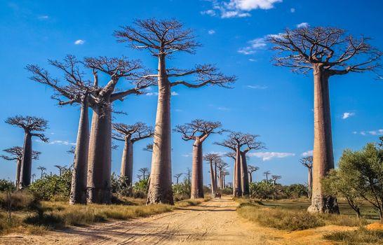 Famous Avenida de Baobab near Morondava in Madagascar