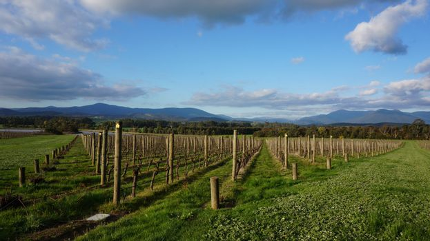 Neat rows of grape-bearing vines in a vineyard