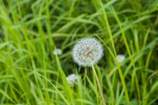 dandelion seed head in grass