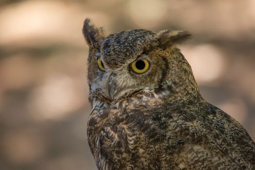 Portrait of a Wise Old Owl