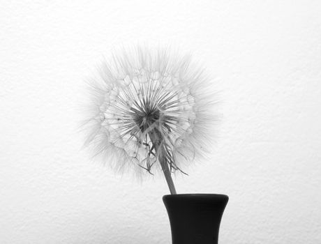 dandelion flower in vase isolated on a white background