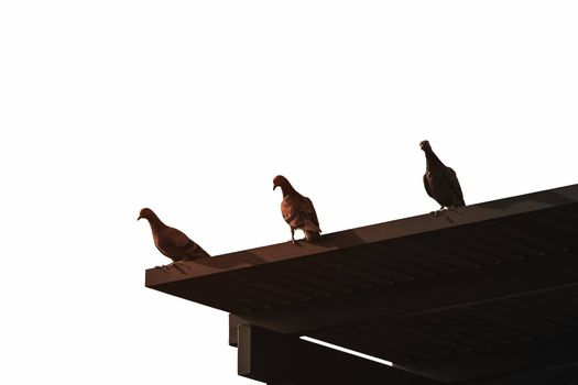 Silhouetted three pigeons standing on wooden roof in dark color with soft sunlight which isolated from white bright sky