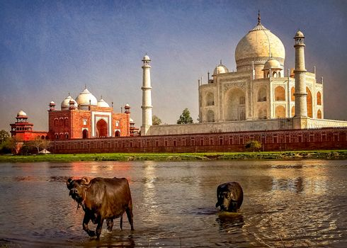 Buffallos taking a bath in a river in front of Taj Mahal - mausoleum at Agra in northern India
