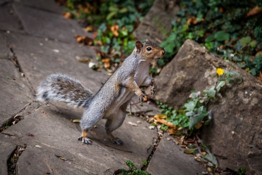 Close up of a grey squirrel on a ground awaiting nut