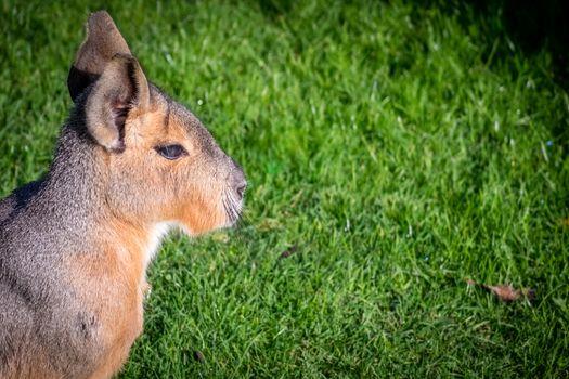 Wild Patagonian Mara, Dolichotis patagonum, sitting on a grass in the zoo