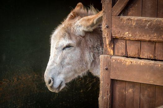 Furry donkey in a barn on a farm