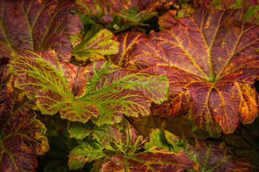 Beautiful colors of heuchera plant leaves in early autumn
