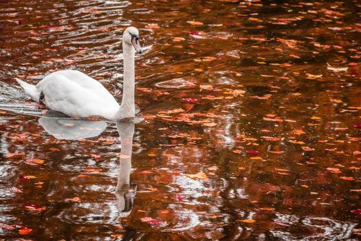 White swan swimming on a lake in autumn