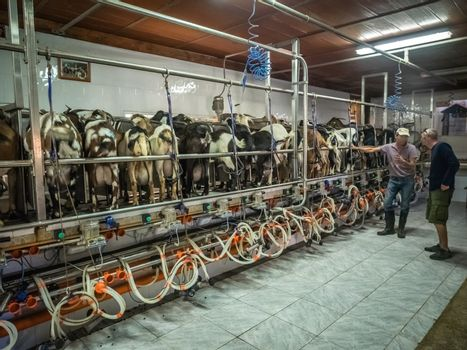 Man supervising automatic milking of goats on a farm in village in Fuerteventura, Canary Islands, Spain. Picture taken 13 April 2016