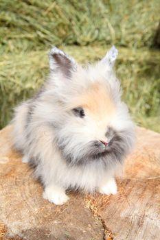 Lionhead rabbit sitting on a log against hay background